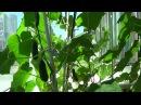 Огурцы на балконе От семян до плодов