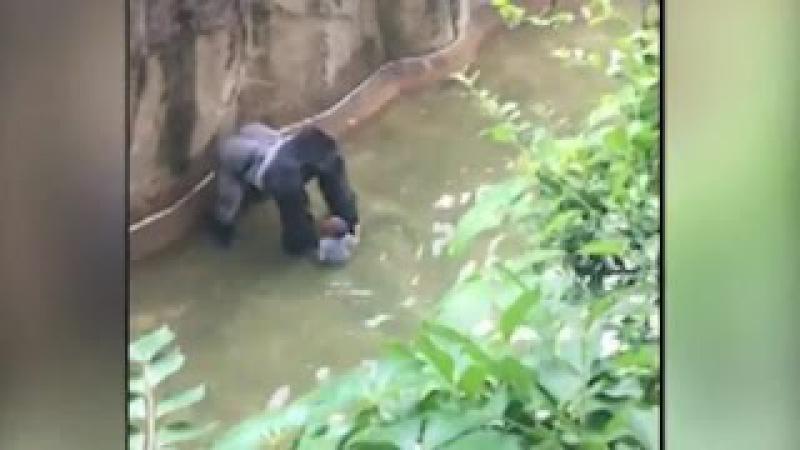 В США 3 х летний ребенок упал в вольер к обезьянам Пришлось засрелить гориллу