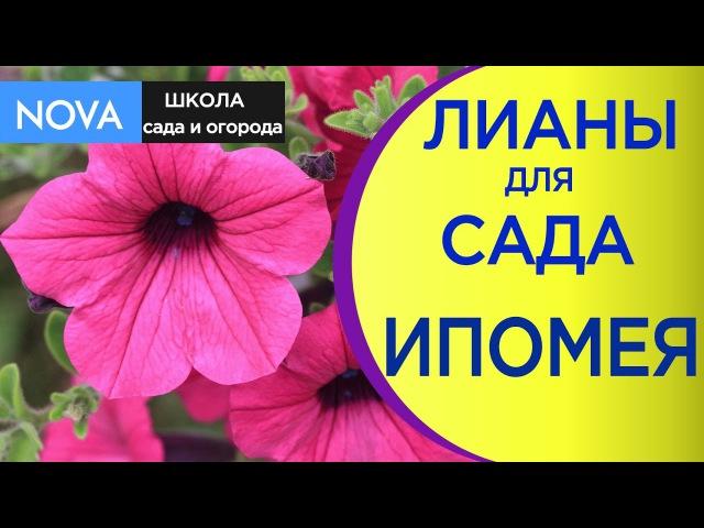 🌺Ипомея однолетняя посадка и уход 🌸 Великолепные лианы для сада NOVA смотреть онлайн без регистрации