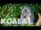 All About Koalas for Kids Koalas for Children - FreeSchool