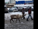 Северный олень Кузьма.