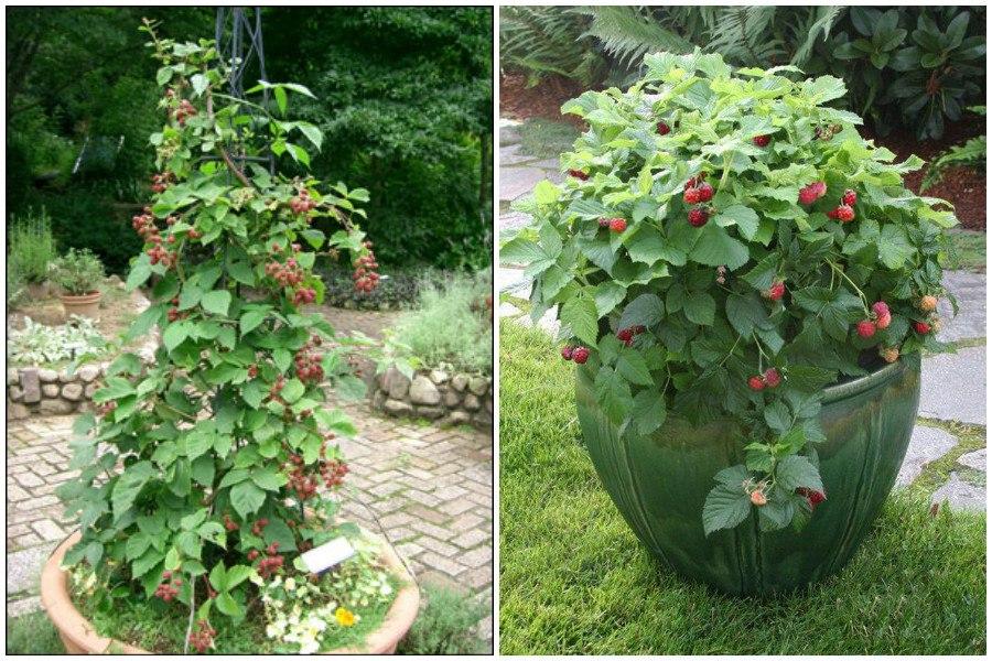 Примеры посадки кустов малины