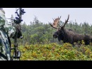 Хорошее видео и в отличном качестве. Охота на лося на реву с луком.