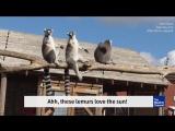 Лемуры любят солнце