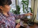 ЗАМИОКУЛЬКАС долларовое дерево простые советы по уходу и размножению в комнатных условиях