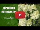 Красивые цветы 🌱 Гортензия метельчатая ТОП 10 самых популярных сортов