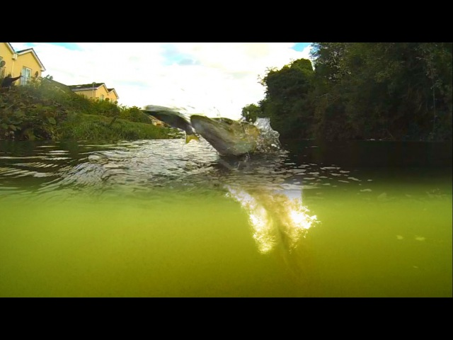 Crazy pike jumps out of water attacking Shad Alive fishing lure. Рыбалка щука атакует приманку