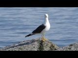 Lesser Black-backed Gull / Baltic Gull / Клуша / Larus fuscus