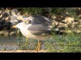 Armenian Gull / Армянская чайка / Larus armenicus
