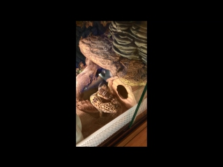 LizardHome. Спаривание леопардовых гекконов эублефаров (18+,хе-хе)