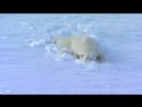 Белая медведица соблазняет холостяка ))
