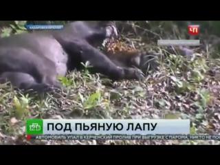 Охотоведы на руках вынесли пьяную медведицу из хабаровского села.