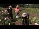 Как вырастить пионы