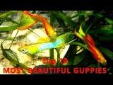 Top 10 - Guppies and Endler´s Guppy - THE MOST BEAUTIFUL VARIETIES, Aquarium, fish tank video film