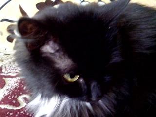 Черная кошка-очарование.Милка