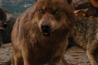 волк сумерки картинки