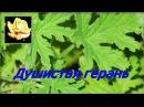 Душистая пеларгония Размножение Уход Комнатные растения