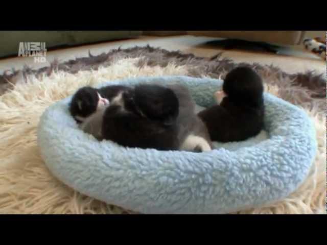 Котята: Изменения (следующие четыре недели)