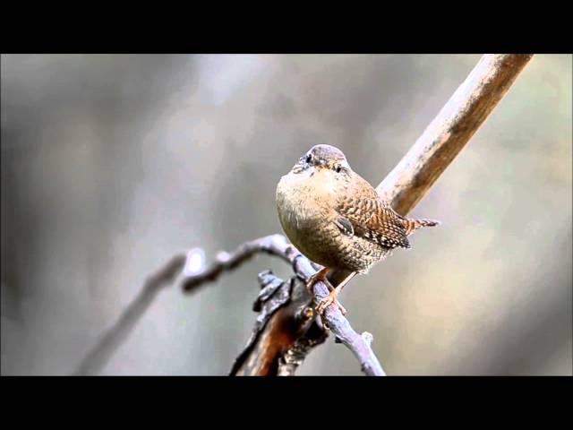 Пение птиц. Крапивник (Troglodytes troglodytes).