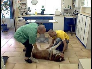 Дрессировка собак дома с нуля - как научить собаку лежать на боку