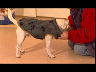 Дрессировка собак дома с нуля - как приучить собаку к пальто