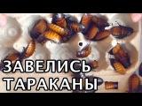 Завелись МИЛАШКИ-ТАРАКАНЫ (мадагаскарские). Сто штук тараканов в одном видео. До чего же приятные!