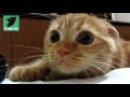 Can That Cat Pretend To Be From Shrek Movie / А ведь похож на кота из Шрека
