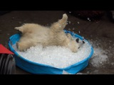 Nora the polar bear plays in kiddie pool filled with ice