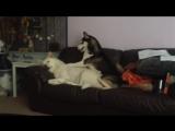 Funny Huskies playing Kiko and xena viral video original
