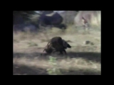 Обезьяны сбегают на кабане