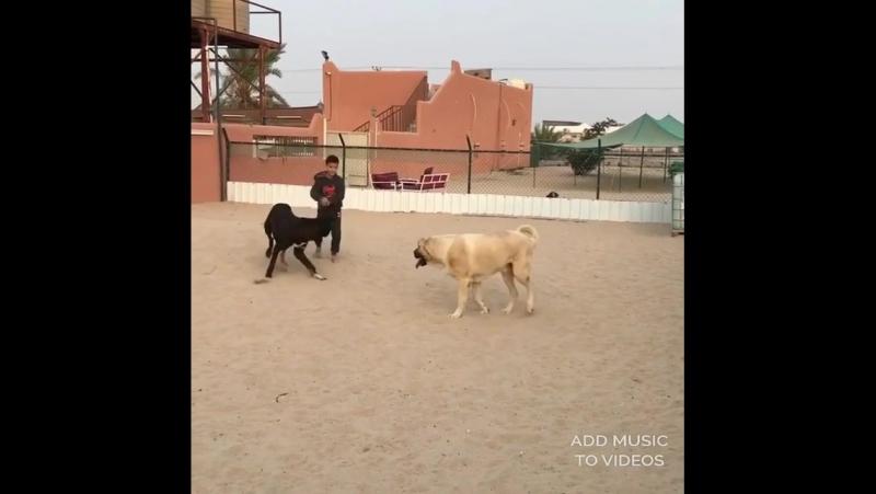 LEGION Собак Kangal Bully Kutta
