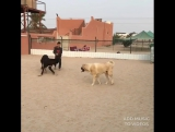 LEGION Собак & Kangal & Bully Kutta