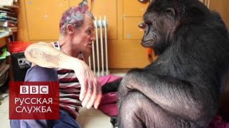 Басист Red Hot Chili Peppers сыграл для гориллы Коко