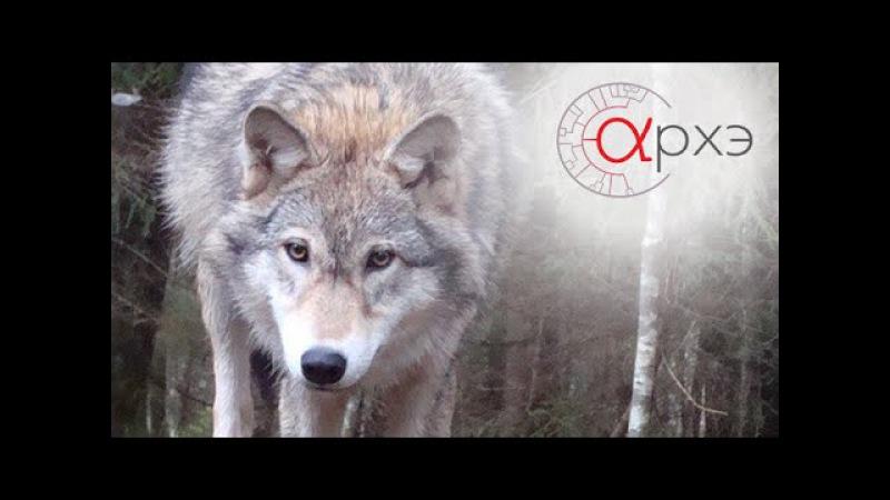 Ясон Бадридзе Формирование мышления волка