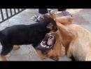 СОБАЧИЙ БОЙ! ЩЕНОК Немецкой Овчарки  и его отец. Dog fighting !!!  Одесса.
