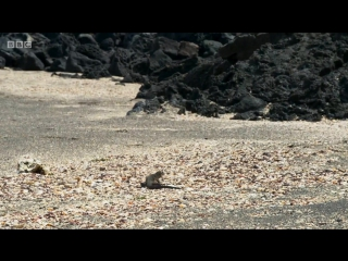 Детёныш морской игуаны борется за жизнь, спасаясь от десятка змей…