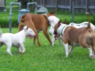 Bull Terrier puppies playing with their mom and boxer pal...13 wks old !