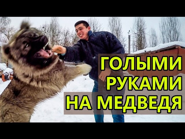 Зверь напал на человека / Beast attacked the man. Bear attack on a person.