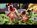 2016 Cape &amp Islands Orchid Show