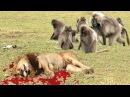 Phim thế giới động vật : Sư tử phải khóc thét khi gặp đàn khỉ đầu chó - lion vs baboon