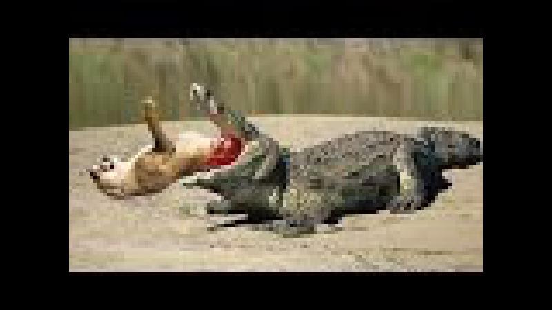 Vua đầm lầy đại chiến chúa sơn lâm (sư tử và cá sấu chúa ) - Lion vs Crocodile vs jaguard