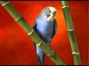 Пение волнистых попугаев Singing budgies