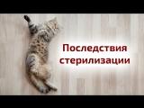 Стерилизация и кастрация кошек: плюсы и минусы стерилизации. Кошка просит кота