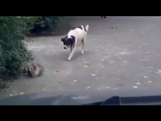 Собака подкрадака, котэ ниндзя