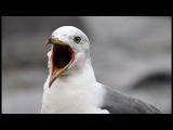 Black-tailed Gull. Чернохвостая чайка. Larus crassirostris. Заповедник