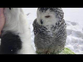 Owl Husky -walking and love ПолЯрная сова Нюша и хаски Илона