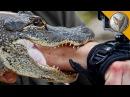 Укус аллигатора.Аллигатор укусил за руку.Brave Wilderness на русском