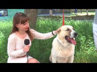 Середньоазіатська вівчарка Асіда врятувала життя більше десяти собак