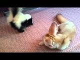 Baby Skunk and Fennec Fox