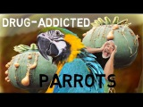 Parrots High On Drugs Are Raiding Farmers' Poppy Fields To Get Their Opium Fix